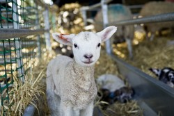 lambing weekend |the foodiesway.co.uk